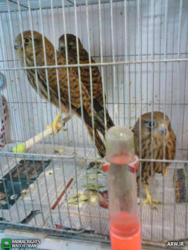 قیمت پرنده قوش طوطی ماکائوآرا بال سبز قرمز سخنگو استثنائی فوق العاده شگفت انگیز - Vido1 - Your Best Videos
