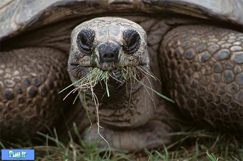 استفاده نخود لاک پرشین پت > > غذای لاک پشت الدابرا Aldabra Toroise(ترجمه)