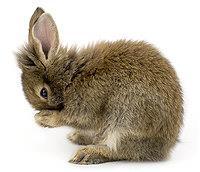 آراستن خرگوش