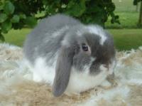 معرفی خرگوش مینی لوپ (Mini Lop Rabbit)