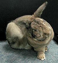 كنه در خرگوش ها (ترجمه)