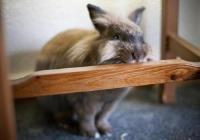 چگونه مانع از جویده شدن وسایل منزل به وسیله خرگوش خانگی شویم