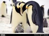 تعیین توالی ژنوم دو پنگوئن برای نخستین بار