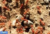 مورچه ها چگونه زلزله را پیش بینی می کنند؟