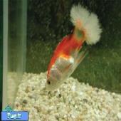 از عفونت قارچی ایکتیوفونوس هوفری در ماهی ها چه میدانید؟