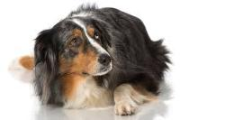 دندان های شیری در سگ