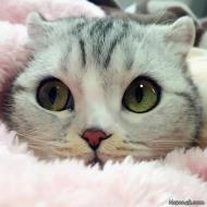 شوره در گربه