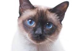 دیابت در گربه