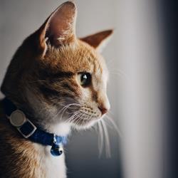 استفاده از قلاده در زمان نگهداری گربه : نکات و ویژگی ها!